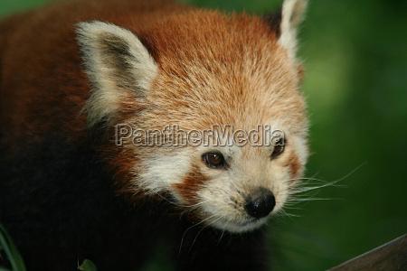 kleiner panda 1