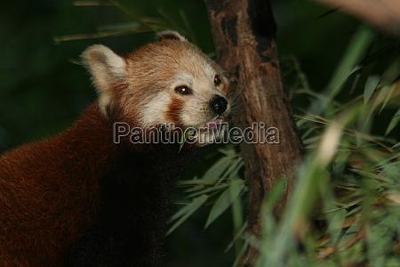 kleiner panda 3