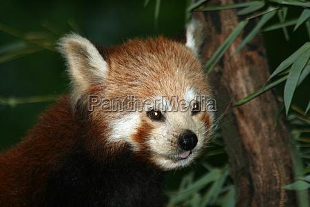 kleiner panda 5