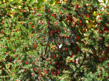 eibe im fruchtstand