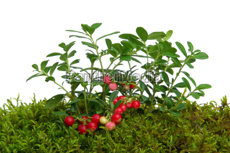preiselbeere cowberry 01