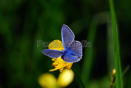 blaeuling auf butterblume