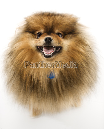 fluffy brown pomeranian dog