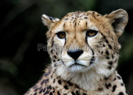 gepardenportrait