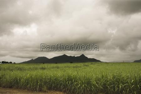 zuckerrohrfeld