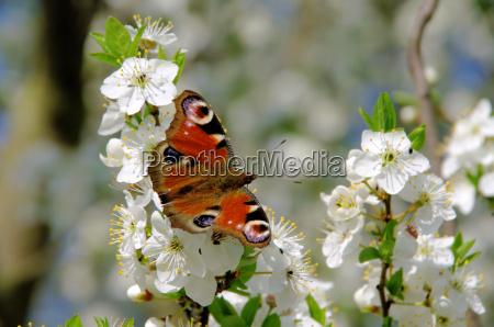 pflaumenbaumbluete plum blossom 61