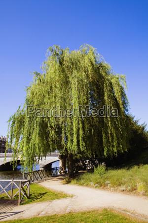 tree at the riverside sarthe river
