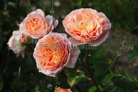 apricot farbene englische rosen