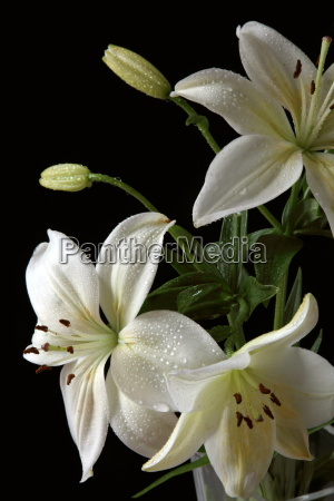 weisse lilien
