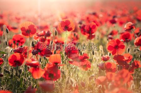 red, ocean, of, poppies - 5027103