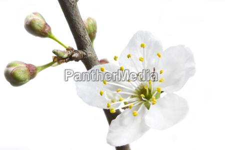 bluete mit knospen einer kirschpflaume prunus