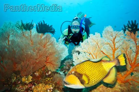 triggerfish, und, taucher - 6832751