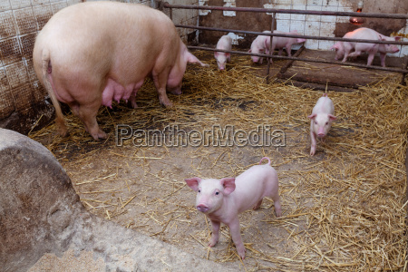 sow pig with piglets