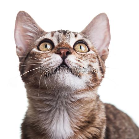 brown striped kitten close up