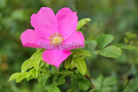 hundsrose dog rose