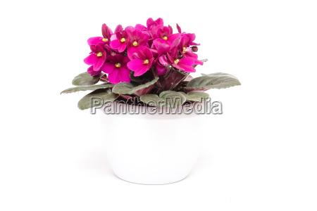 usambara veilchen mit lila blueten