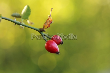 hagebutten rose hip