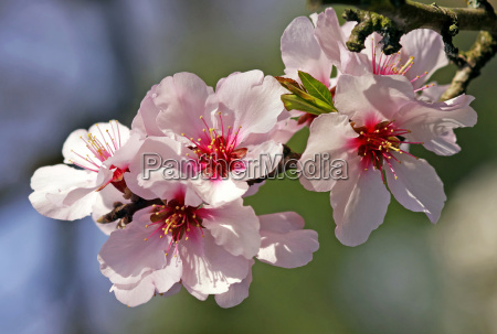 blueten der echten suessmandel prunus dulcis