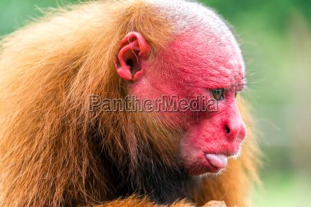 bald uakari closeup