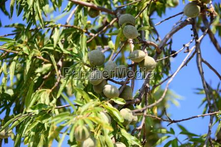mandelbaum in spanien
