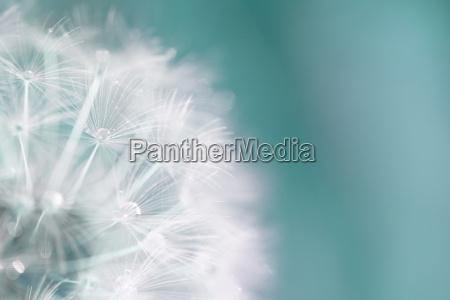 makro von einer pusteblume mit tau