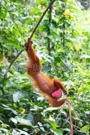 upside down bald uakari monkey