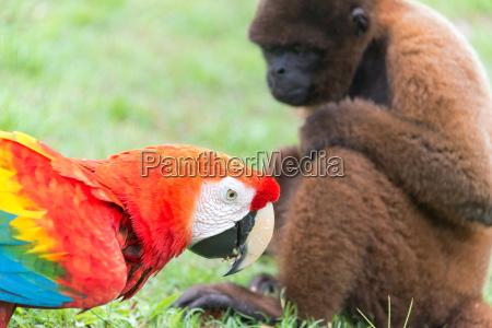 macaw and monkey