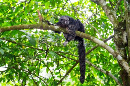 monk saki monkey and tail
