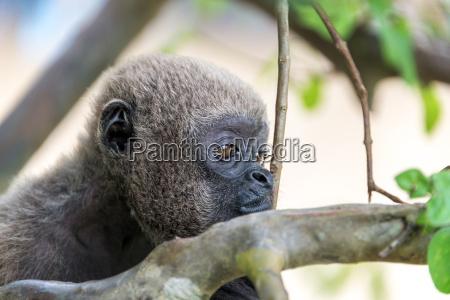 woolly monkey face