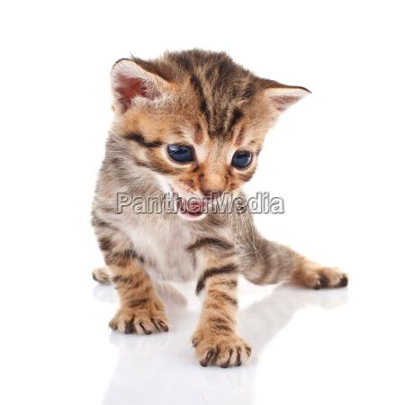 striped kitten crying