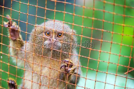 cage pygmy monkey