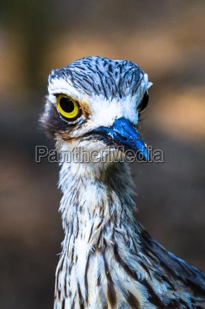 bush stone curlew