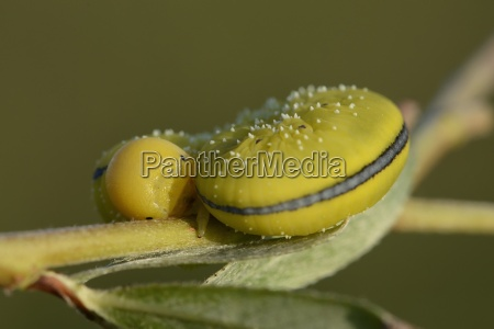 england willow sawfly cimbex luteus