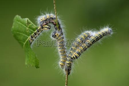 five caterpillars of buff tip moth