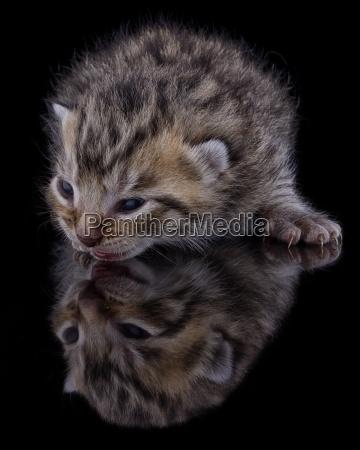 kitten felis silvestris catus with reflectiion