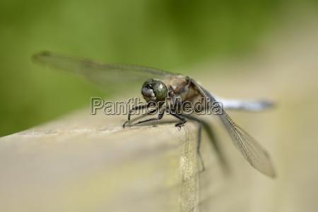 black tailed skimmer orthetrum cancellatum sitting