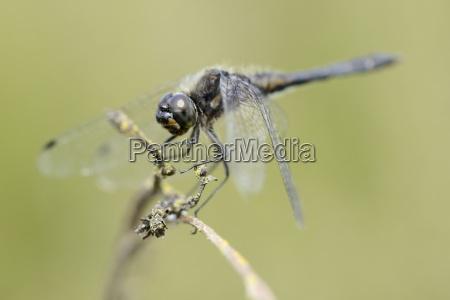 england black darter sympetrum danae