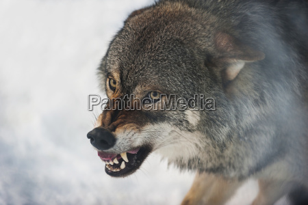 norway bardu wolf baring teeth