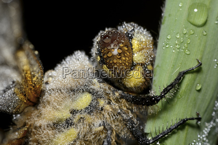 portrait of wet four spotted chaser