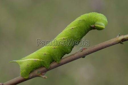 caterpillar of eyed hawk moth on