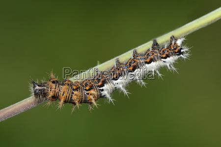 caterpillar of comma