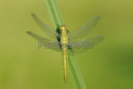 newly emerged black tailed skimmer drying