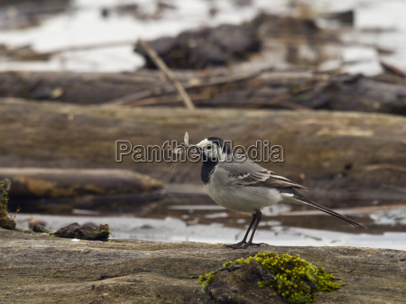 white wagtail motacilla alba with dragonfly