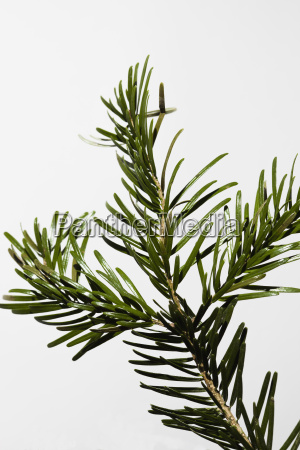 close up of pine twig against