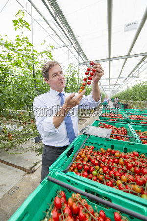 businessman inspecting ripe red vine tomatoes