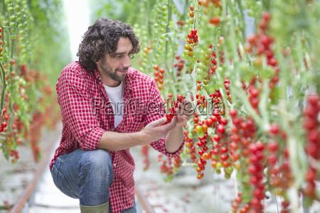 worker inspecting vine tomato plants in