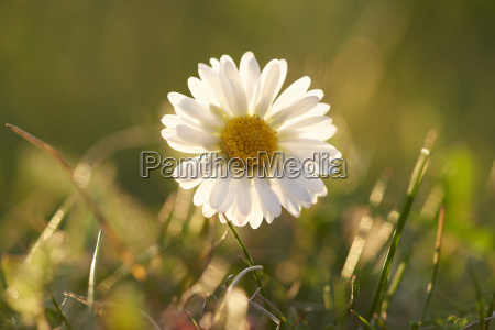 close up of common daisy bellis