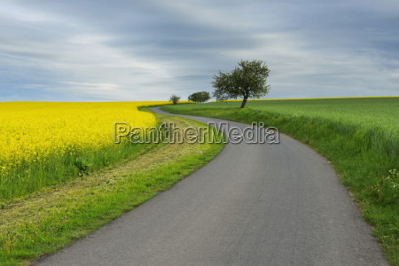rural road with canola field in
