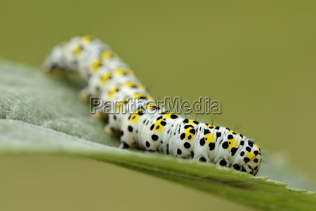 caterpillar of mullein moth on a
