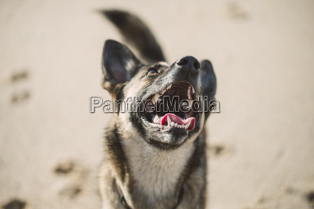 baying mongrel on the beach